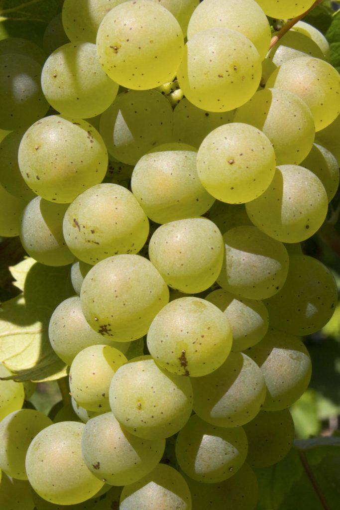 Chardonnay Sainchargny